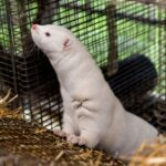 Oregon mink farm has COVID-19 outbreak after advocates warned of danger in state