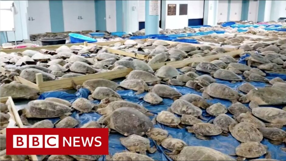 Thousands of cold-stunned turtles rescued from Texas weather – BBC News