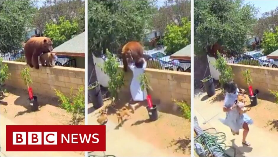 US girl fights off bear to protect dogs – BBC News